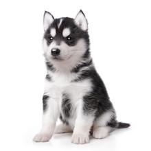 Cute Little Husky Puppy Isolat...