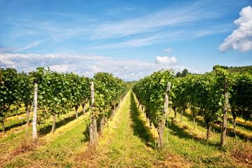 Fototapeta na wymiar Perspective of vine stocks in a vineyard