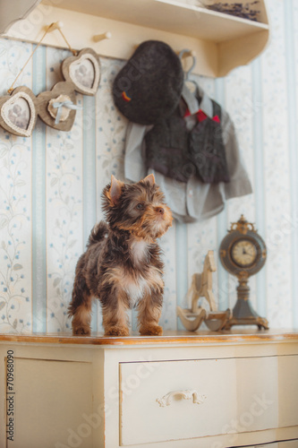 Fototapety, obrazy: Yorkshire Terrier in the interior