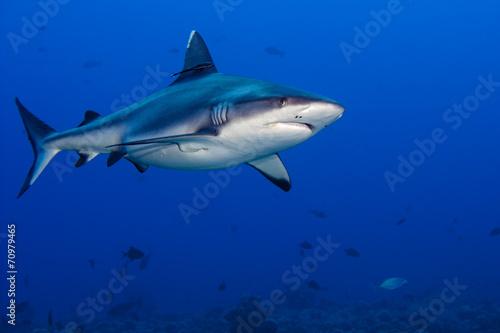 Fotografie, Obraz  shark attack underwater