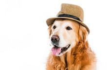 Retriever In Hat