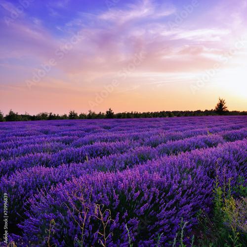 Poster Violet Lavender field