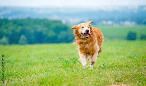 Fotografie, Obraz Running Golden retriever dog