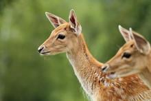 Fallow Deer Calf Over Green Background