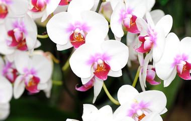 FototapetaBeautiful flower white orchid