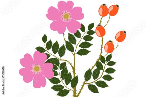 Dzika róża - ilustracja
