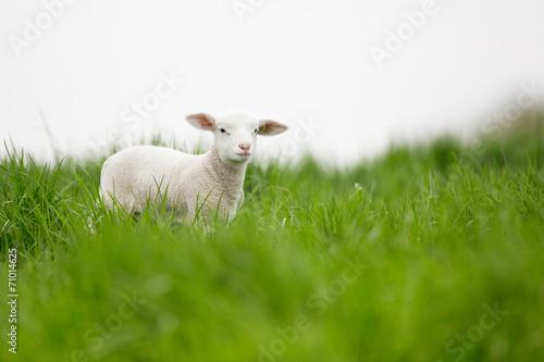 agneau Fototapete