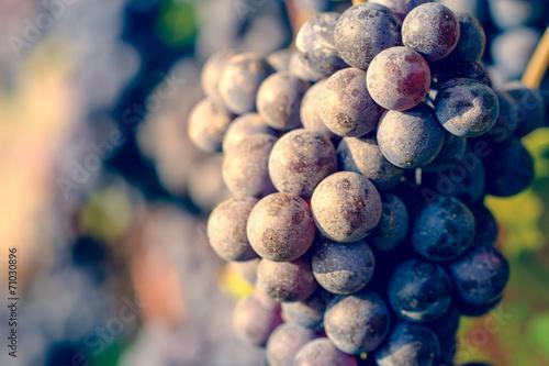 Fotografia  dettaglio di grappolo di uva da vino