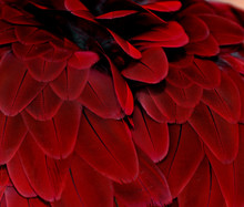 Feathers; Red