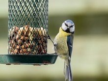 Small Blue Tit Sitting On A Bird Feeder Looking Out