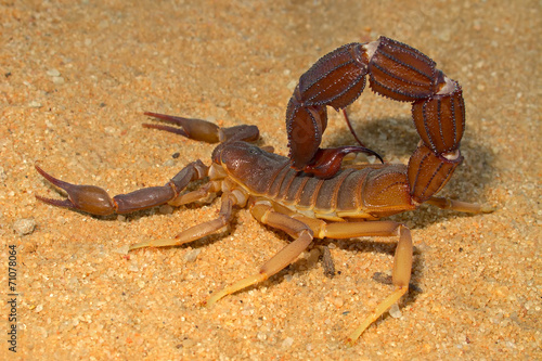 Aggressive scorpion, Kalahari desert