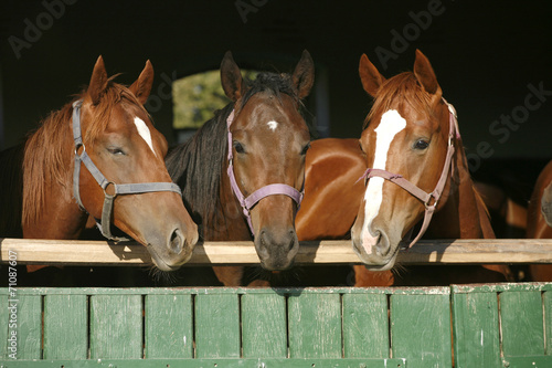 Fototapeta Nice thoroughbred foals in the stable obraz