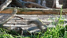 Active Squirrel In Cage In Zoo