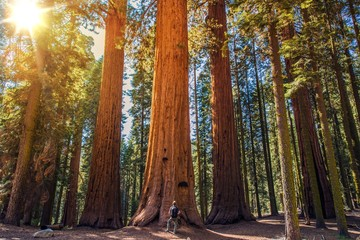Sequoia vs Man
