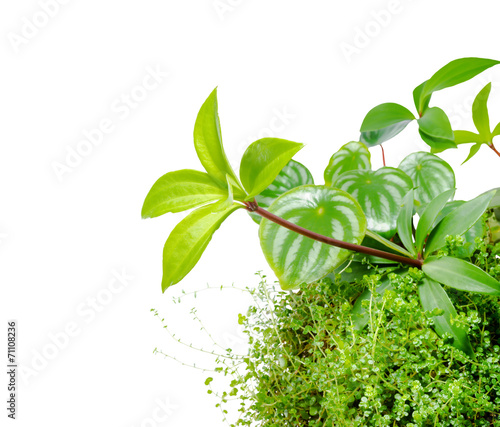Poster Vegetal mix plant of Watermelon peperomia, Peperomia pereskiifolia and H