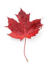 Single Red Maple Autumn Leaf