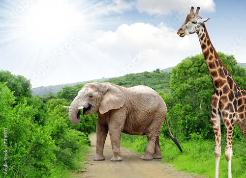 Giraffe and elephant in Kruger park South Africa Poster