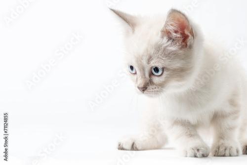 Obraz na płótnie Gattino bianco isolato su sfondo bianco