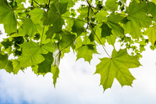 Fresh Green Maple Leaves Above Cloudy Sky Background