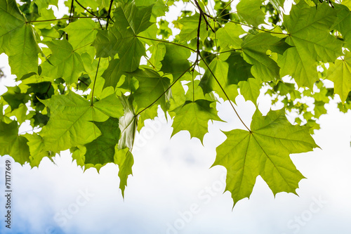 Fotografie, Obraz  Fresh green maple leaves above cloudy sky background
