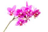 Różowe orchidee na białym tle