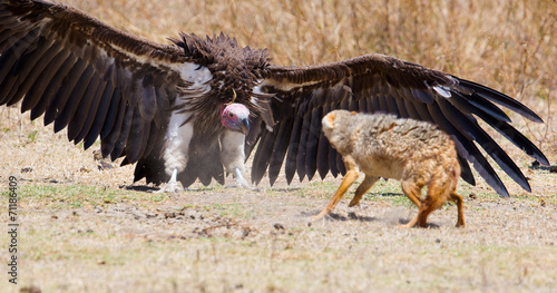 Aluminium Prints Hyena Fight between vulture and wild dog in Africa