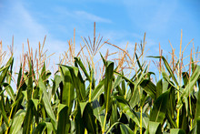 Green Corn Plants On Blue Sky Background