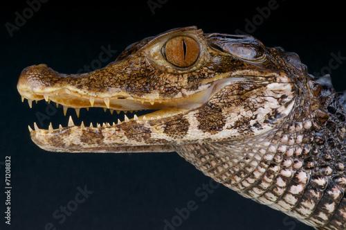 Foto op Plexiglas Krokodil Smooth-fronted dwarf caiman / Paleosuchus trigonatus