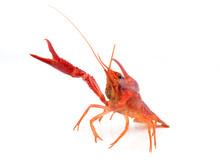 Alive Crayfish Isolated On Whi...