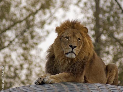 Staande foto Leeuw lew