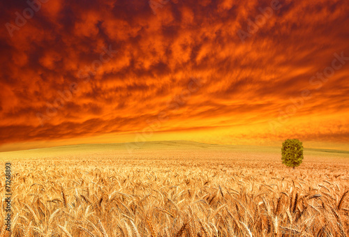 golden crop and red sky Poster