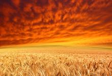 Golden Crop And Red Sky