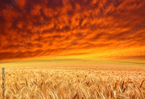 фотография  golden crop and red sky
