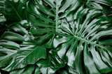 Fototapeta Bathroom - Philodendron monstera obliqua, green leaf background, dark tone