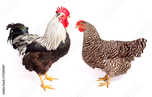 Foto op Aluminium Kip Rooster and chicken on white background