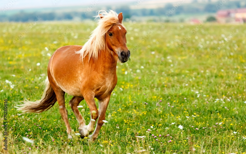 Fotografie, Obraz Small pony horse (Equus ferus caballus)
