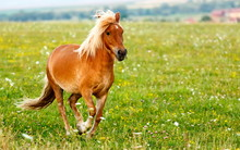 Small Pony Horse (Equus Ferus ...