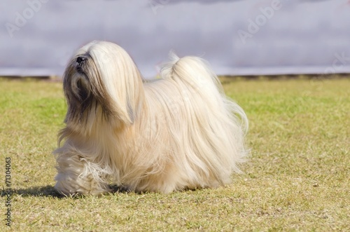 Foto op Plexiglas Leeuw Lhasa Apso