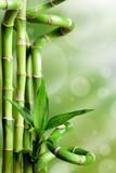 Fototapeta Bamboo - Bambusy na zielonym tle
