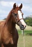 Piękny kasztanowy koń na zielonej łące