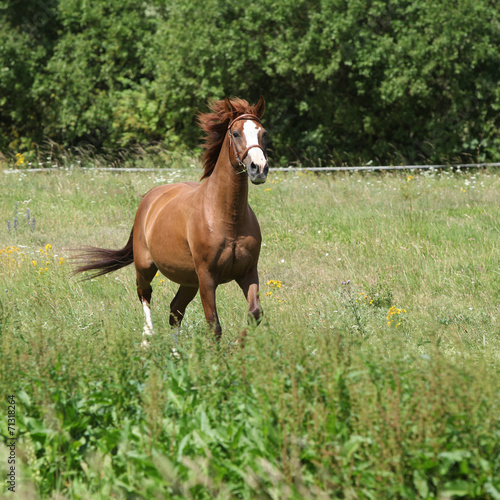 Nice chestnut horse running on meadow