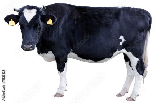 Poster Koe Holstein cow