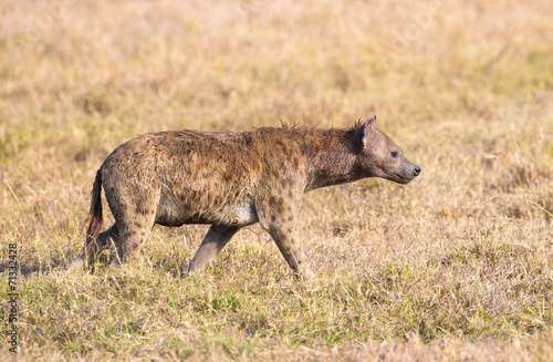 Poster Hyène Hyena walks alone in Africa