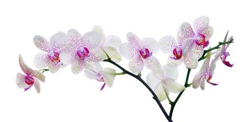 Fototapeta kwiat orchidei w różowe plamy na białych
