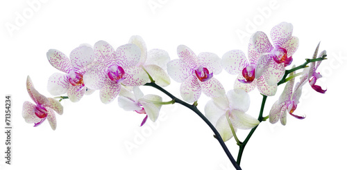 Keuken foto achterwand Orchidee light color orchid flower in pink spots on white