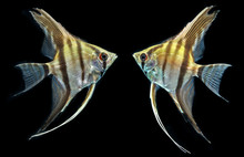 Angelfish (Pterophyllum Scalar...