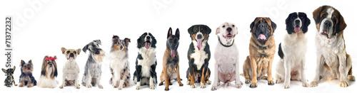 Fototapeta group of dogs obraz