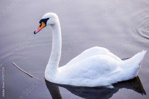 Spoed Fotobehang Zwaan Floating swan