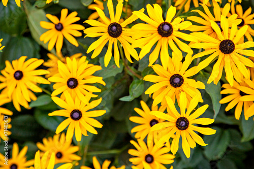 Black-eyed Susan or Rudbeckia hirta Canvas-taulu