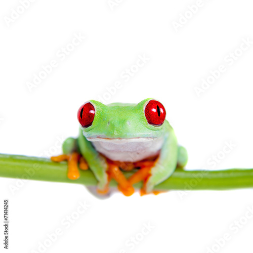 Tuinposter Kikker Beautiful red eyed tree frog on white background